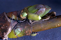 Figure 11. Eggs of the Norway maple aphid tucked around the base of buds.