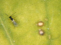 Adult of a parasitoid wasp next to two aphid mummies.