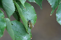 Figure 5: Yellowjacket wasp feeding on honeydew produced by linden aphid.