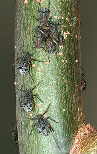 Figure 6: Giant willow aphids that develop on willow stems are the largest aphids found in Colorado.