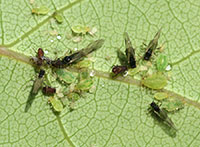 Figure 7: Colony of aphids on the leaves of willow.