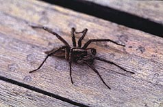 Funnel web spider.