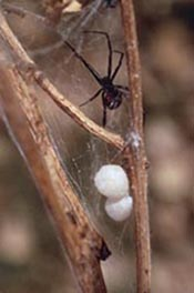 Female black widow with egg sacs