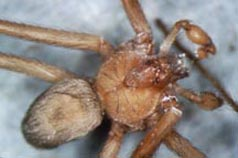 Brown recluse spider male) showing distinctive pattern on back