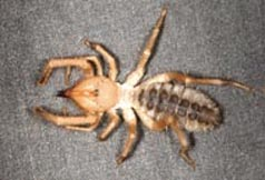 Solpugid or sun spider