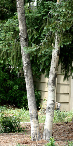 Even if oystershell scale is controlled, affected areas of aspen bark later develop a fissured appearance, as indicated by the trunk on the left.