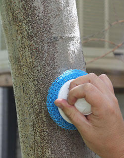 Gentle scrubbing can easily dislodge oystershell scale from bark.