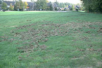 Damage to turfgrass caused by skunks or raccoons digging for white grubs.
