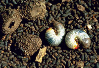 Most white grubs in Colorado do not damage plants