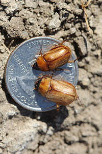 Adults of the southwestern masked chafer.