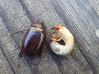 Adult and larva of a May/June beetle.