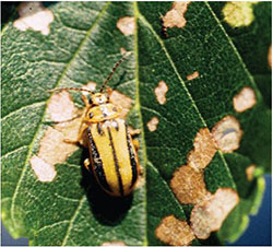 Elm leaf beetle adults and damage