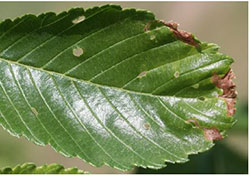 Siberian elm leaf showing leaf mines and shot hole wounds produced by the larvae and adults of elm leaf beetles, respectively