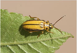 Elm leaf beetle, with the yellow coloration of the form found during the growing season