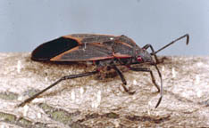 Boxelder Bugs 5 522 Extensionextension