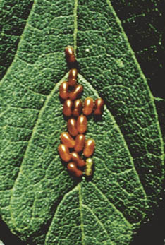 Boxelder bug eggs