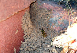 Yellowjacket entering nest underneath wall