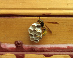 The western paper wasp