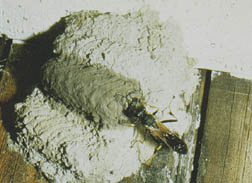 Mud dauber building nest