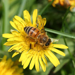 The honey bee is an important and beneficial insect due to its production of honey and other products, as well as pollination of plants