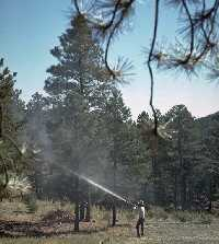 Uninfested pine being preventively sprayed