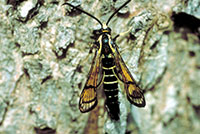 Adult male of the peachtree borer, a type of clearwing borer.