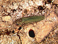 Emerald ash borer adult next to D-shaped exit hole.