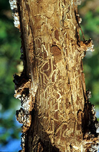 Extensive tunneling injuries produced by larvae of the Gambel oak borer.