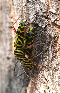 Mating pair of locust borers, a type of longhorned beetle.