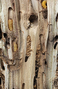 Locust borer larvae (roundheaded borers) and tunneling of black locust.