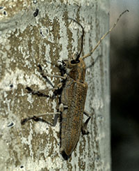 Poplar borer, a common borer of aspen.