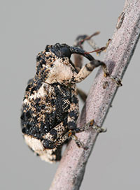 Poplar and willow borer, a type of weevil that develops as a borer in the stems of willows.