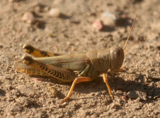 Grasshopper Control in Gardens and Small Acreages - 5 536