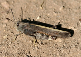 Specklewinged grasshopper