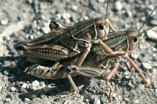 A mating pair of plains lubber grasshopper