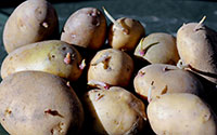 Premature sprouting is a common effect of potatoes grown from plants damaged by psyllid yellows