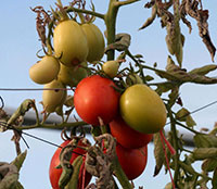 Tomato fruit is dull colored and less flavorful if damaged by psyllid yellows