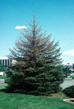 Blue spruce that has been partially defoliated by Douglas-fir tussock moth.