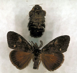 Females of the Douglas-fir tussock moth (top) are wingless. Males (bottom) are winged and fly well.