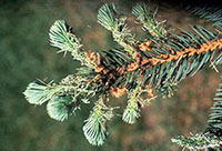 New growth of blue spruce being damaged by recently hatched caterpillars of Douglas-fir tussock moth.