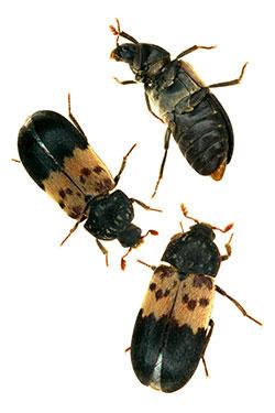 Dermestid Beetles Carpet Beetles 5 549 Extension