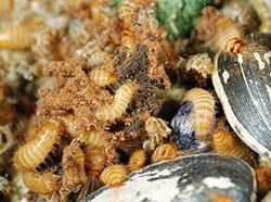 Dermestid Beetles Carpet Beetles 5 549