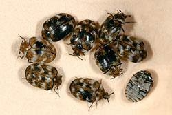 Figure 9: Varied carpet beetles. Photograph courtesy of Jim Kalisch, University of Nebraska
