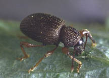 Strawberry root weevil