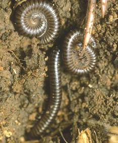 Long circular hairy bug like centipede