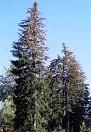 Top dieback of spruce from drought stress and ips attack.