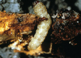 Peach tree borer larva.