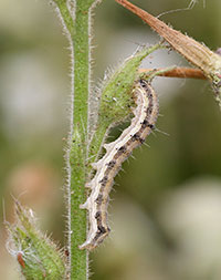 Tobacco budworm feeding on flower bud of nicotiana