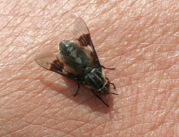 how to treat yellow fly bites