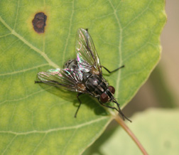 Biting Flies - 5 582 - ExtensionExtension